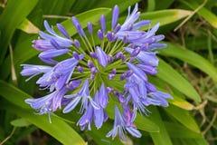 Ily des Nils, auch genannt Blume der afrikanischen Lilie, im purpurroten Blau Stockbilder