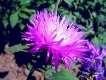 Imágenes de flores y del primer de la abeja Foto de archivo libre de regalías