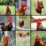 Imágenes de gallos imagen de archivo
