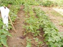 Imágenes de la planta de haba verde en el jardín Fotos de archivo