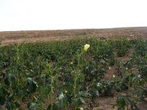 Imágenes de la planta de quingombó en el campo para los anuncios publicitarios de los productores de la fruta Imagen de archivo