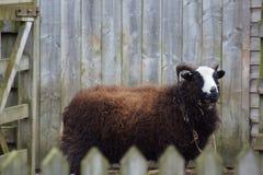 Imágenes del corral - ovejas masculinas (Ram) - aries del Ovis Fotos de archivo libres de regalías