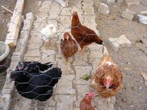 Imágenes del gallo y del pollo de las aves de corral convenientes para los diseños de la publicidad y de empaquetado Foto de archivo