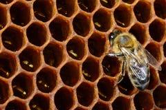 Imágenes macras de la abeja en una colmena en el panal con el copyspace Las abejas dan vuelta al néctar en la miel fresca y sana  Fotografía de archivo