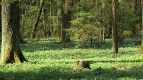 Im alten Wald aller in den Schneegl?ckchen HD 1920x1080 stock video