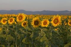 Im backgroun die schöne Stadt von San Gimignano in Chianti, Toskana Lizenzfreie Stockfotos