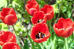Im Blumenbeet wächst einige schöne rote Tulpen Im Hintergrund von grünen Blättern und von Gras Stockbild