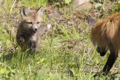 Im coming for you dad. Red Fox Kit running at parent Stock Photos