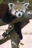 Im so fauler roter Panda Stockfotografie