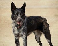 Im Freienvieh-Hundeportrait Stockfoto