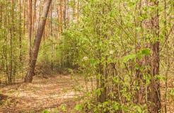 Im Frühjahr blühen Shadberry in Polesie in Ukraine Lizenzfreie Stockfotos