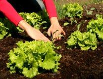 Im frischen Boden zu pflanzen Kopfsalat, Stockfotografie