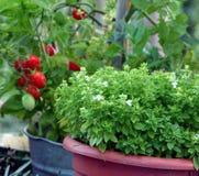 Im Garten arbeitenbasilikum und Tomate des Behälters Stockfotos