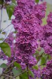 Im Garten blüht die Flieder Lizenzfreies Stockfoto