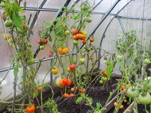 Im Gartengewächshaus reifende grüne Tomaten auf der Niederlassung einer Bush-Anlage tomate im Garten Lizenzfreie Stockfotografie