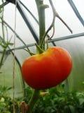 Im Gartengewächshaus reifende grüne Tomaten auf der Niederlassung einer Bush-Anlage tomate im Garten Lizenzfreies Stockbild