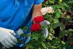 Im Gewächshaus kümmert sich ein Mann um die Blumen einer roten und weißen Rose Stockbilder