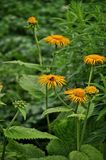Im grünen Garten sammelt die Biene Nektar auf gelben Blumen lizenzfreies stockfoto