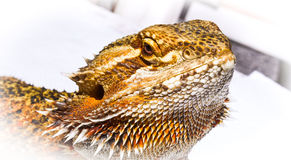 Im so handsome - Pet German Giant Bearded Dragon sunning himself outdoors. Stock Images