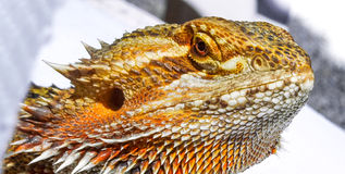 Im so handsome - Pet German Giant Bearded Dragon sunning himself outdoors. Royalty Free Stock Images
