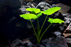 im hellen abstrakten Blatt und in seinem veinsof ein grünes Schwarzes Lizenzfreie Stockfotografie