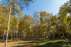 Im Herbst von Birken Lizenzfreie Stockbilder