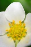 Im Herzen einer Erdbeere (die Blume) Lizenzfreies Stockfoto