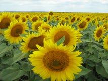 Im Juli blühen, die Sonnenblume unter den breiten Feldern Stockbild