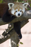 Im So Lazy Red Panda. Red Panda Bear Being Lazy in Tree Stock Photography