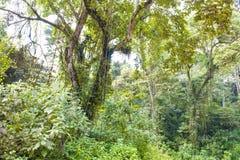 Im nebeligen Gebirgsregenwald in Uganda Stockbild