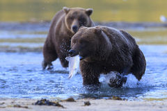 Im not sharing my fish. Brown bear with fish in mouth Royalty Free Stock Image