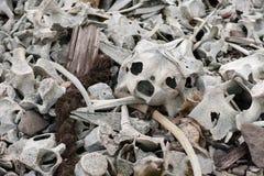 Im remenbrance der Zeiten des Walfangs - Knochen von Belugawales stockfoto
