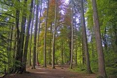 Im schottischen Holz Stockfoto