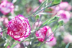 Im Sommer blüht der Garten schöne Gartennelke lizenzfreies stockfoto