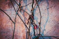 Im Spätherbst wird die Rebe entlang der alten und gebrochenen, rosa Farbe der Wand gesponnen Stockbild