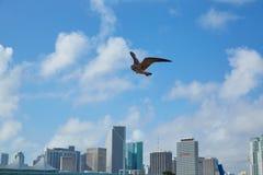 Im Stadtzentrum gelegene Skyline Miamis mit der Seemöwe, die Florida fliegt Stockbild