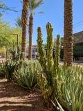 Im Stadtzentrum gelegene Straßen Phoenix mit Wüstenpflanzen, Arizona lizenzfreies stockfoto
