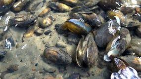 Im ungefrorenen Fluss nahe dem Ufer kann man Miesmuscheloberteile sehen, auf der sandigen Unterseite zu liegen lizenzfreie stockfotografie