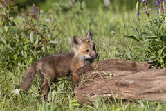 Im very curious. A curious red fox kit looking at life in a meadow Stock Photos