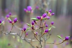 Im Wald blühen Ledum Stockfotografie