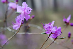 Im Wald blühen Ledum Stockbilder