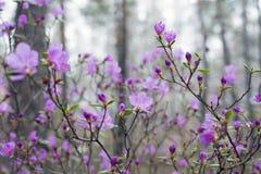 Im Wald blühen Ledum Stockfoto