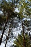 Im Wald ragt die Kiefer in den Himmel empor Stockfoto