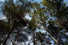 Im Wald ragt die Kiefer in den Himmel empor Lizenzfreies Stockfoto