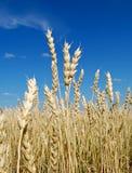 Im Weizen vertrauen wir Lizenzfreies Stockbild