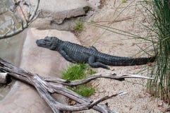 Im Zoo-Reptil-Weg Ihr Wille den China-Alligator, kritisch finden bedrohte Art lizenzfreie stockfotos