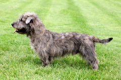Imaal Terrier on a green grass lawn Stock Images