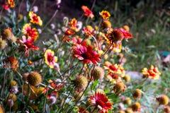 Image éclairée à contre-jour de floraison de fleurs de marguerite de Gerbera Photo libre de droits