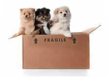 Image of 3 Pomeranian Puppies in a Cardboard Box stock images