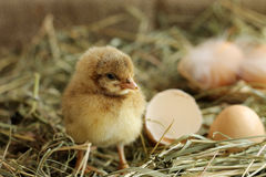 Image of adorable hatched chick, close-up Stock Photography